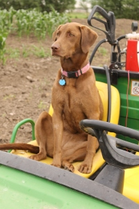 Snickers is inspecting the sweet corn patch as she helps Emily take pictures.