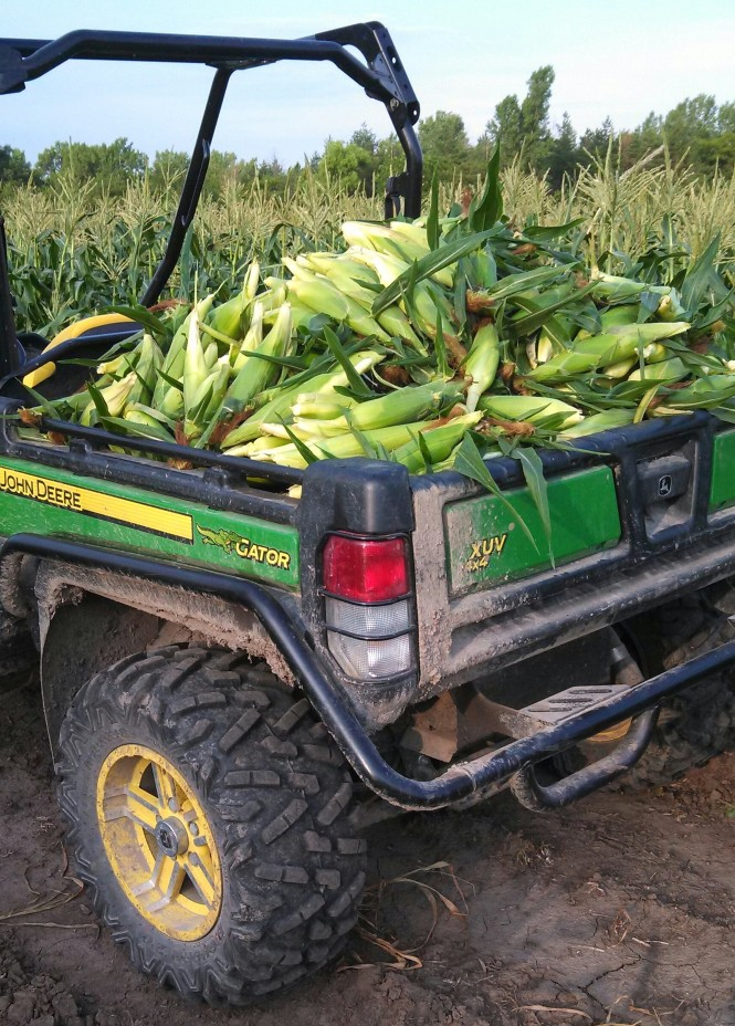 Gator Sweet Corn