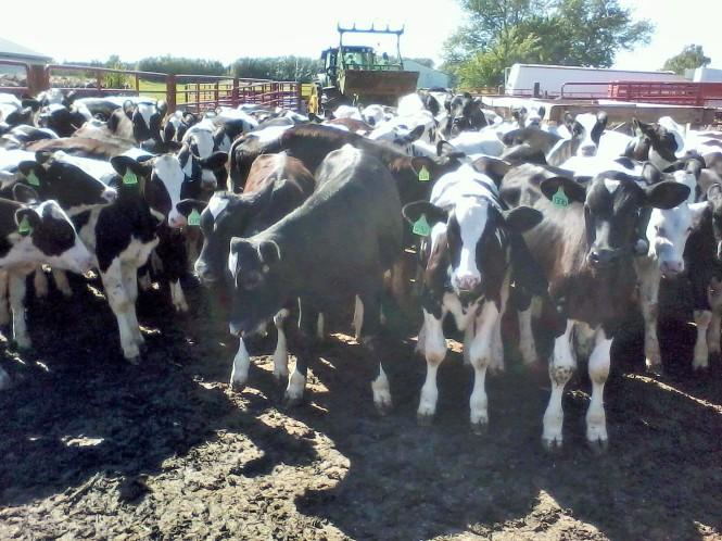 Calves in Lot