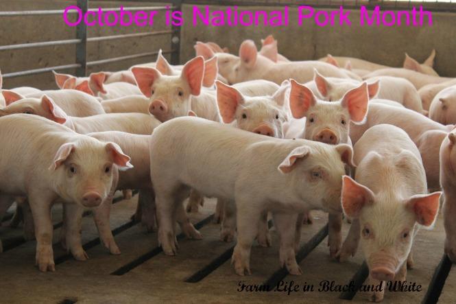 Pigs - October Pork Month
