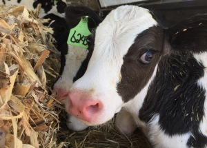 We just finished filling the calf shed with calves on Sunday; so we are feeding them milk three times a day now. Good thing they are so cute!