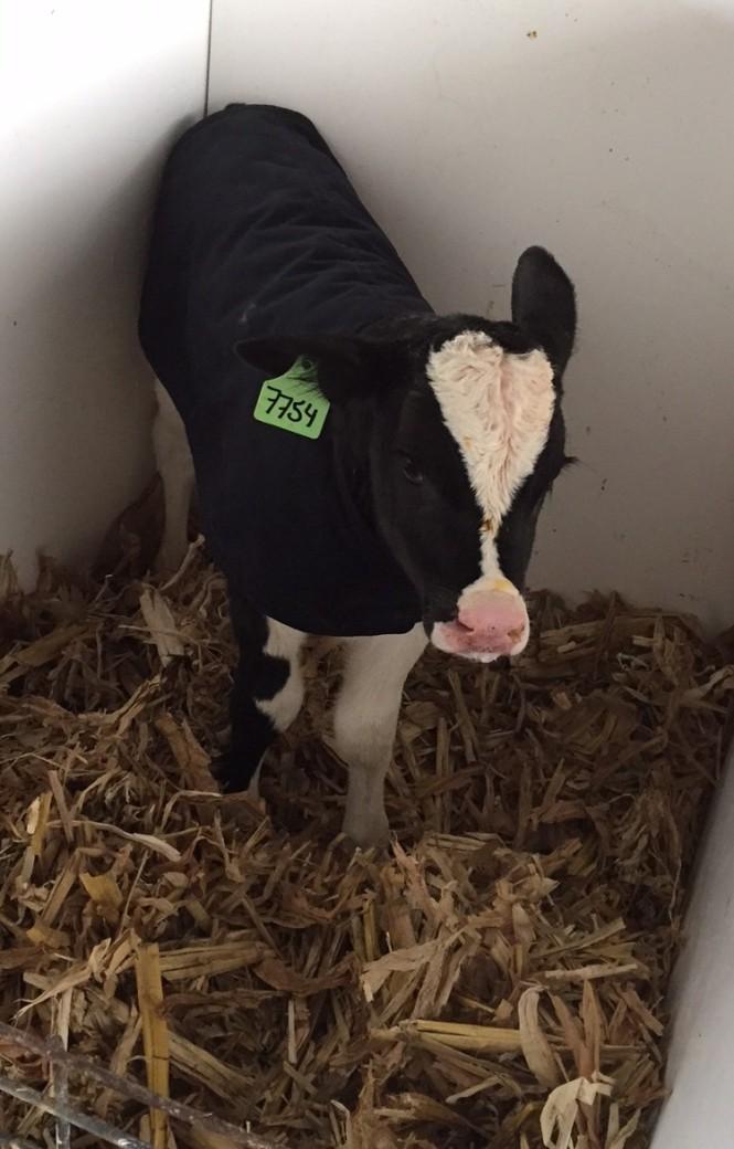 Calf in pen