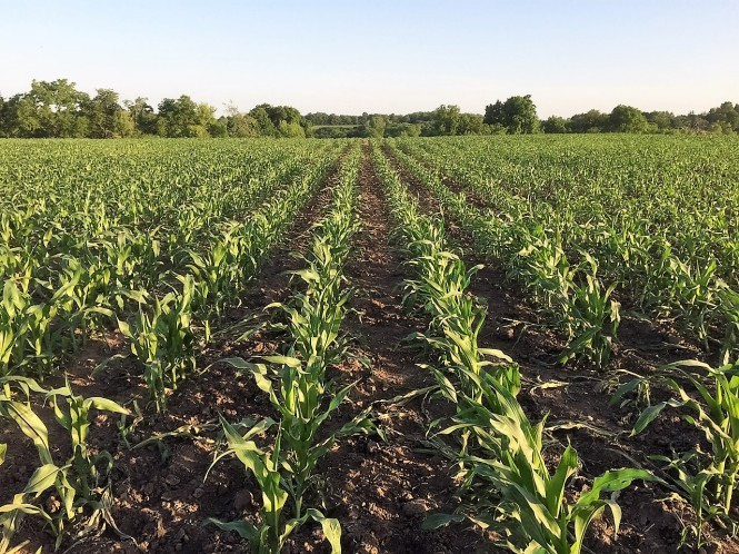 Field Corn June 2 2016 2