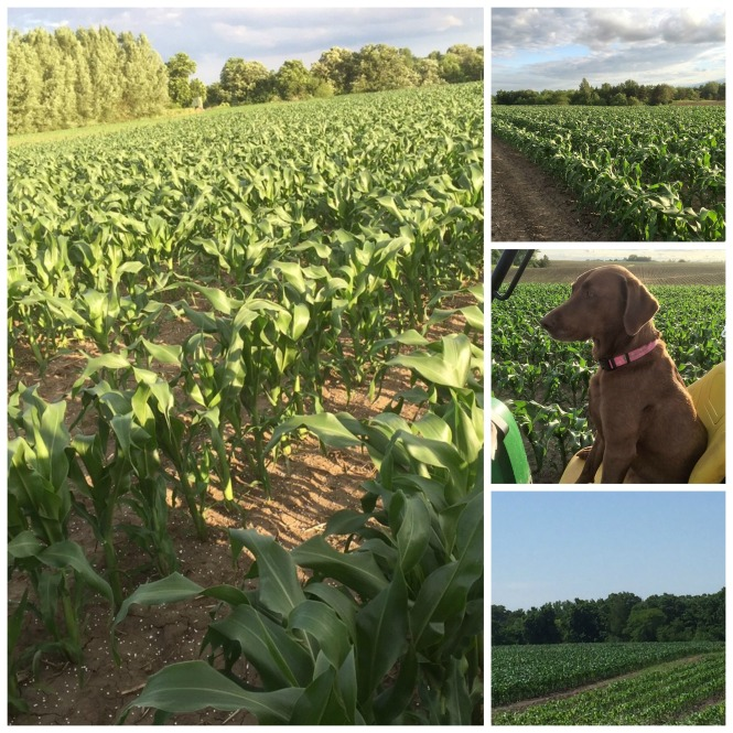 Sweet Corn Collage June 4