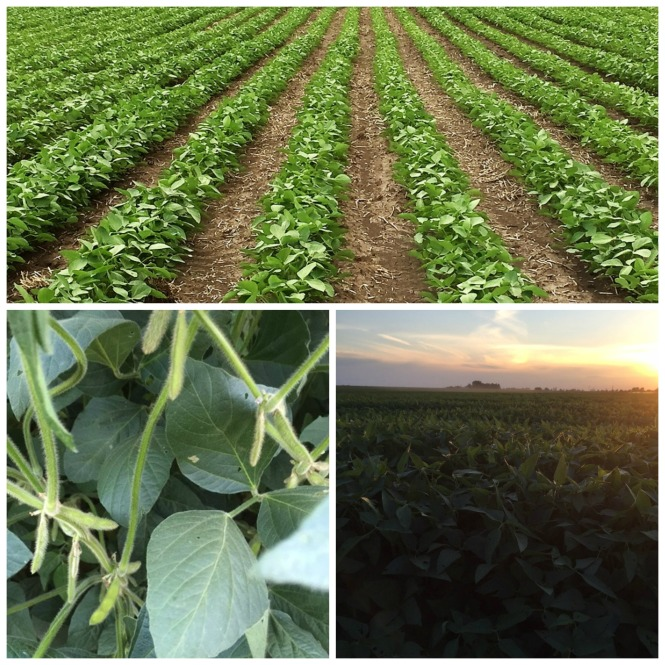 Soybeans June and July.jpg