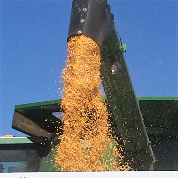 combine-auger-and-corn