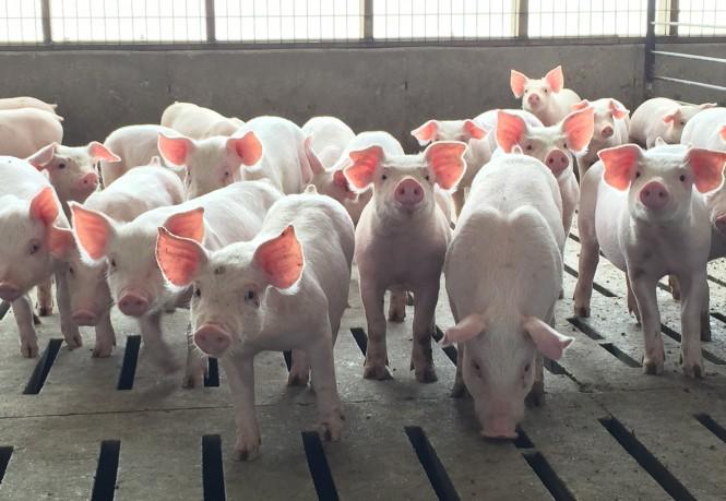 pigs-emilys-picture