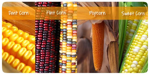 corn-types