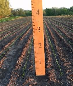 Corn 5-16-18