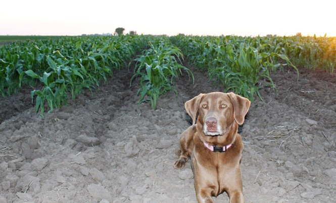 Sweet Corn 53018